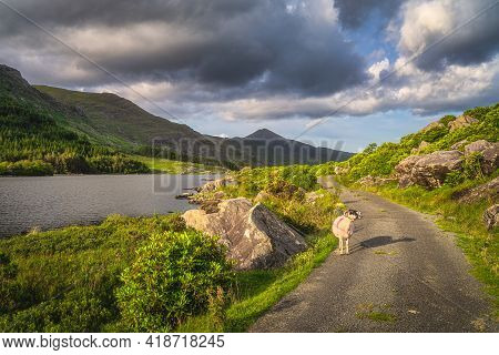 Sheep Or Ram Says Baa While Standing On Winding Country Road In Black Valley At Sunset, Macgillycudd