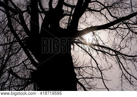 Silhouette Of A Huge Old Tree Trunk With Bare Branches Against The Gray  Gloomy Sky. Abstract Natura