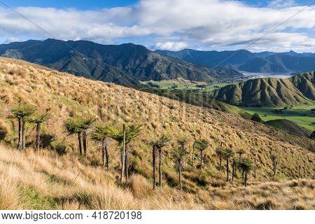 New Zealand Fern Trees Growing On Kaituna Ranges Near Havelock Town In Marlborough Region, South Isl