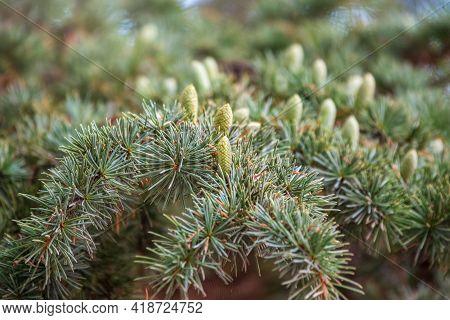 Branch Of An Atlas Cedar With Needles And Cones. Cedar Atlas Lat. Cedrus Atlantica - Large Evergreen