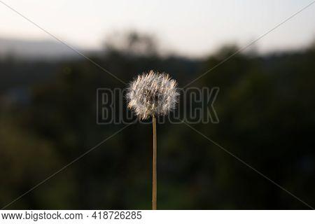 Dandelion Or Taraxacum Officinale Closeup In Little Sunlight.