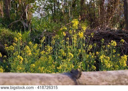 Picture Of Sinapis Arvensis Or Wild Mustard