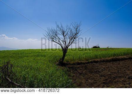 Beautiful Single Tree And Greenery All Around And Blue Sky At Himachal Pradesh, India