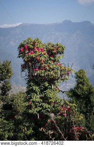 Picture Of Pink Rhododendron Flower Tree. Himachal Pradesh, India