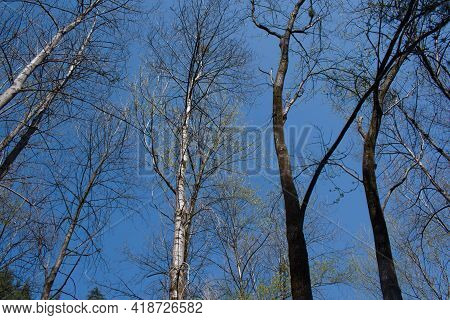 Picture Of Poplar Trees In Day Time