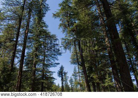 Beautiful Green Long Deodar (himalayan Cedar) Trees Forest