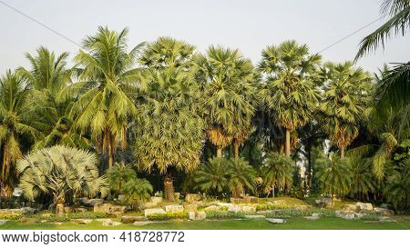 Group Of Palm Trees On Green Grass Lawn Yard, Decorated With Stone In Public Garden Landscaped