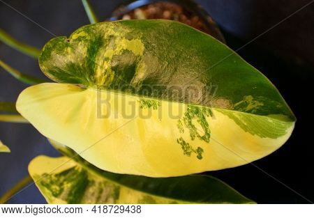 Beautiful Yellow And Green Marble Leaf Of Philodendron Burle Marx Variegated