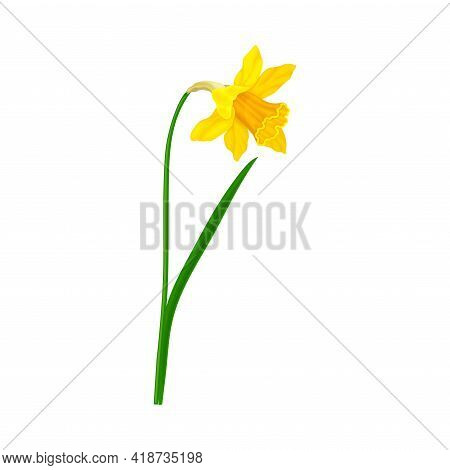Daffodil Or Jonquil Spring Flowering Plant With Yellow Flower And Leafless Stem Closeup Vector Illus