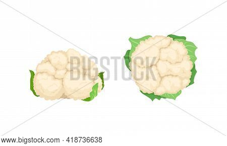 Cauliflower With Edible White Flesh Used In Culinary Vector Set