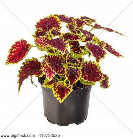 Colorful Coleus Houseplant In Flowerpot Isolated On White Background