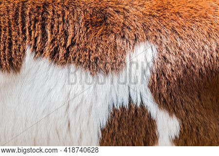 Brow And White Cow Fur Texture Pattern Use For Background
