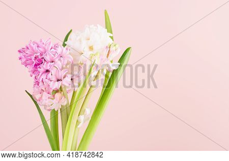 Soft Light Exquisite White Hyacinth Flowers On Pink Backdrop Closeup, Romantic Springtime Background