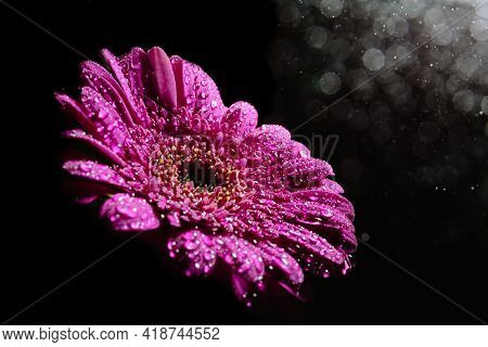 Large Beautiful Gerbera Flower Purple Color Isolated On A Black Background With Splashing Water Drop