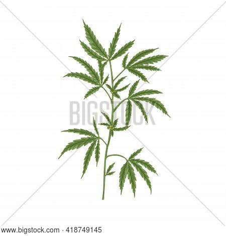 Branch Of Cannabis Plant With Leaf. Hemp Or Marijuana Stem With Leaves. Hand-drawn Vintage Botanical
