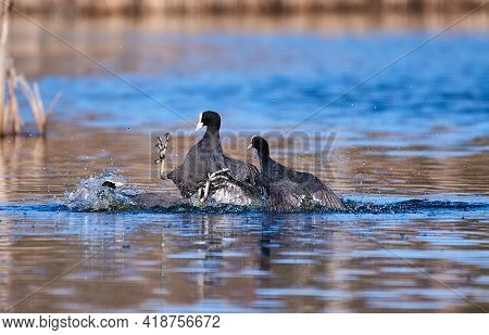 Group Of Coots Fighting In Water In Southern Finland Over Territory Or Mating Companion On Sunny Eve