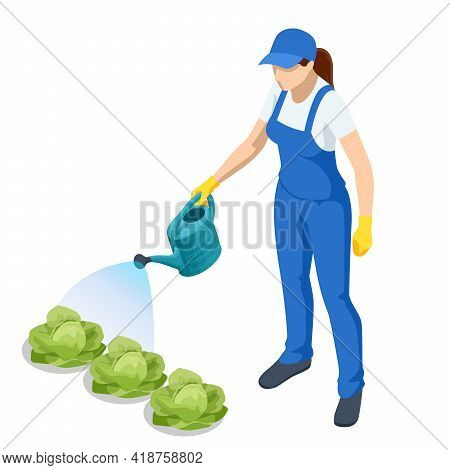 Agricultural Work. Isometric Farmer Watering Cabbage Planting. Woman Watering Cabbage Garden With Wa