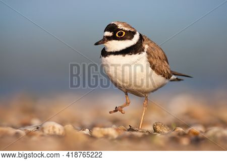 Little Ringed Plover Walking On Riverbank In Spring