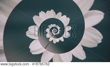 Flower Spiral Animation. Animation. Abstract Spiral Of Flower Petals On Solid Background. Swirling F