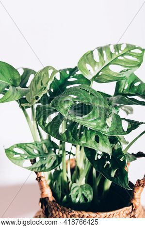 Monstera Monkey Mask, Or Official Name Monstera Adansonii, The Adansons Monstera, Swiss Cheese Plant