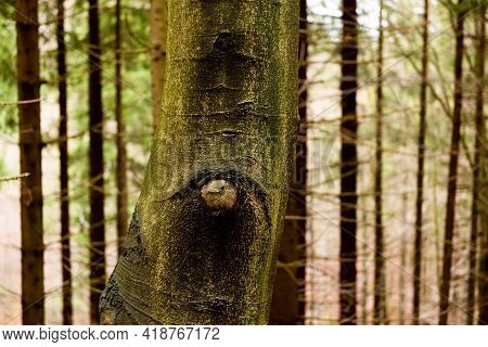 Tree Trunk Eye In A Deep Conifer Forest. Tree Bark In The Shape Of Eyes. Natural Wilderness Backgrou