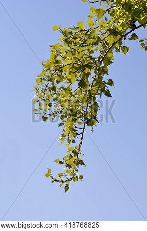 Lombardy Poplar Branch Against Blue Sky - Latin Name - Populus Nigraa Var. Italica