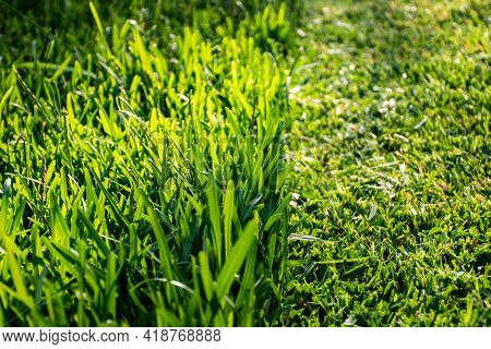 Grass Cut With Lawn Mower. Half Of The Grass Trimmed And Half Is Still Long. Fresh Cut Backyard In T