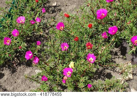 Fuchsia Colored, Red And Yellow Flowers Of Portulaca Grandiflora In July