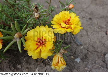 Vibrant Yellow Flowers Of Double Portulaca Grandiflora In August