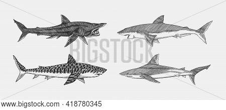 Great White Shark And Tiger Basking Atlantic Bull Shark Or Mackerel Porbeagle Predator. Marine Anima