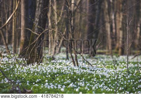 Anemone Nemorosa Flowers In Forest. Spring Nature Blurred Background