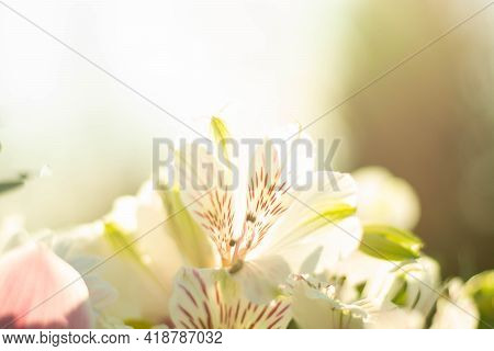 A Beautiful Nature Scene With A White Alstroemeria Flower In Bloom And A Blue Sky In Early Spring. D