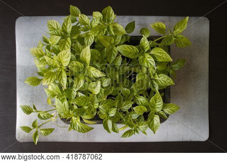 Green Sprouts Grown At Home On Marble Mat On Black Wooden Table. Organic Home Gardening, Nature Care
