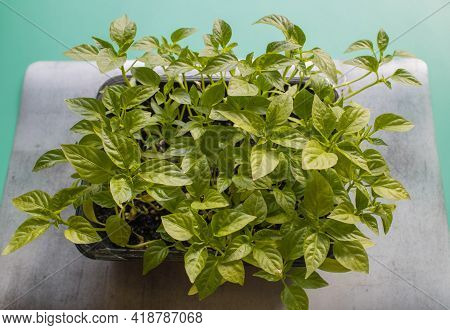 Green Sprouts Grown At Home On Marble Mat On Green Background. Organic Home Gardening, Nature Care,