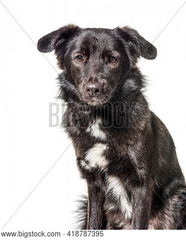 Head shot of Crossbreed dog, black and white, isolated