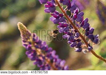 Pollination. Bee Flies And Collects Nectar From A Purple Lupine. Beautiful Picture With Blurred Back