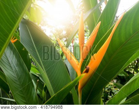 Heliconia Flower Or Claw Flower In The Garden With Sunlight.