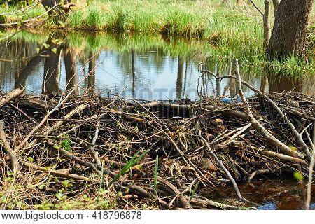Platinum Beaver On The River. Beaver Platinum. Beaver Built A Dam. A Dam Of Branches, Twigs, Trees.
