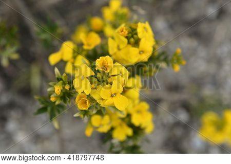 Yellow Wallflower Tom Thumb - Latin Name - Erysimum Cheiri Tom Thumb