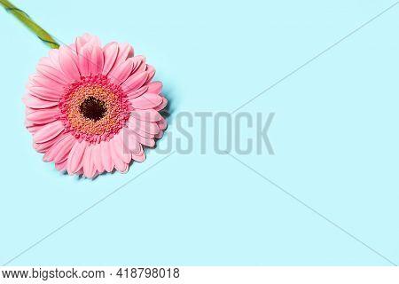 Nice Pink Gerbera On Blue Background. Beautiful Tender Spring Flowers Gerbera On Blue Background. Sp