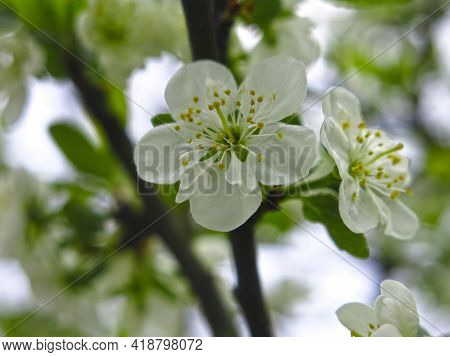 Plum Tree Blossomed In The Garden In The Spring With White Fragrant Flowers