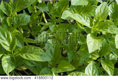 Green Background Of Young Leaves Of Pepper Grown From Seeds At Home. Organic Home Gardening, Nature