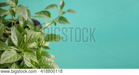 Green Sprouts Grown Grown From Seeds At Home Backlit By The Sun On Light Green Background. Organic H