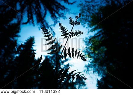Beautiful Fern Leaves In The Forest. Fern Growing In The Woodlands. Natural Wild Vegetation In North
