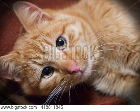 Portrait Of An Adult Red Cat, Close-up. A Cat With An Expressive Look. A Pet. Vignette.