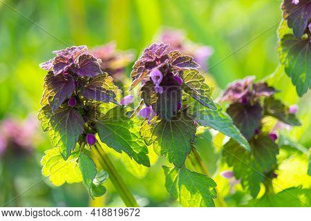 Daed Nettle, Purple Archangel, Lamium Purpureum Flower In Green Grass. Plant Herb Nature Background
