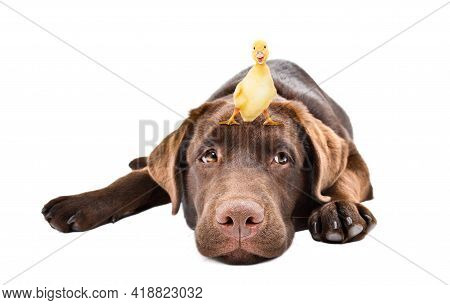 Cute Labrador Puppy With Little Duckling On His Head Isolated On White Background