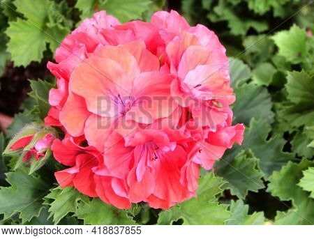 Lush Inflorescence Of Coral Red Pelargonium Among The Greenery In The Garden, Macro Photography, Sel