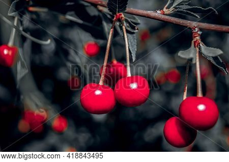 Red Rich Cherries On A Branch. Very Tasty And Ripe. The Variety Of Cherry Morel. Cherry Trees In Nat