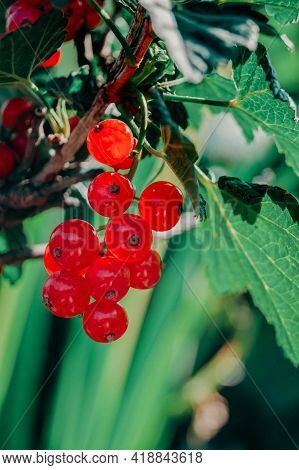 Red Currant. Berry Bush In The Wild. Currant Bush With Berries On The Branches.